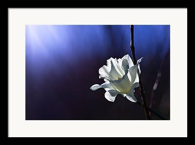 Daffodil Framed Prints