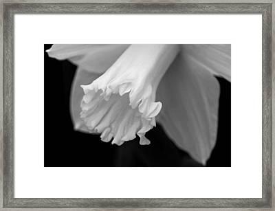Daffodil Framed Print by Lisa Phillips
