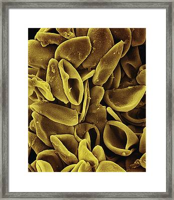 Daffodil Narcissus Sp Pollen 700x Framed Print by Albert Lleal