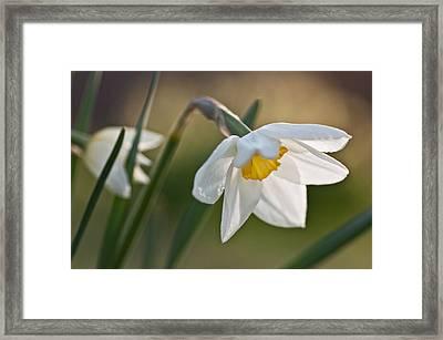 Daffodil Framed Print by Ron Smith