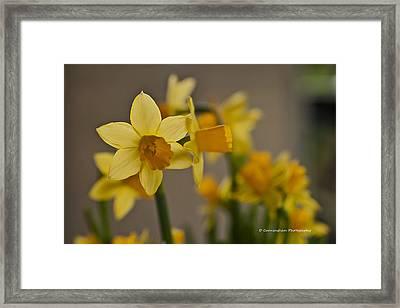 Daffodiles Framed Print