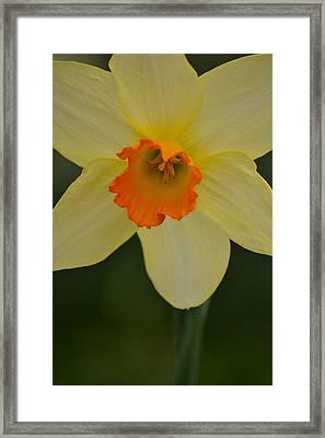 Daffodilicious Framed Print