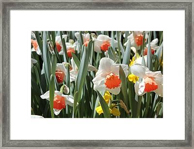 Daffodils Framed Print by Felix Zapata