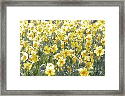 Framed Print featuring the photograph Daffodils  by Gary Bridger