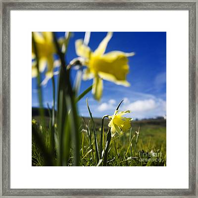 Daffodils In Cezallier. Auvergne. France. Europe Framed Print by Bernard Jaubert