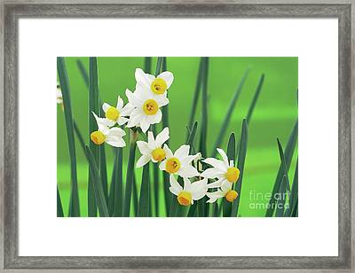 Daffodils (narcissus Canaliculatus) Framed Print by Archie Young