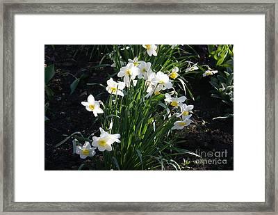 Daffodils Of Suzdal Framed Print by Padamvir Singh