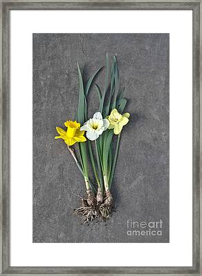 Daffodils Framed Print by Photo Researchers, Inc.