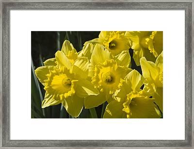 Daffodils Framed Print by Rob Hemphill