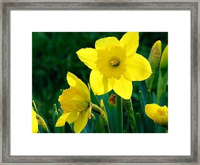 Framed Print featuring the photograph Daffodils by Sherman Perry