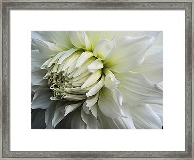 Dahlia Beauty Framed Print