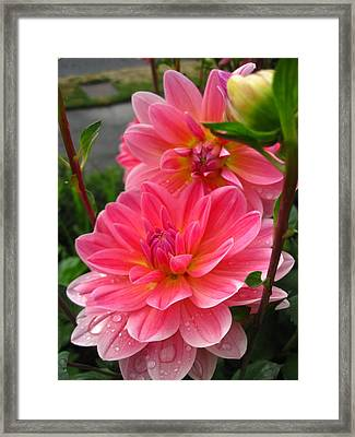 Framed Print featuring the photograph Dahlia Dew by Cheryl Perin