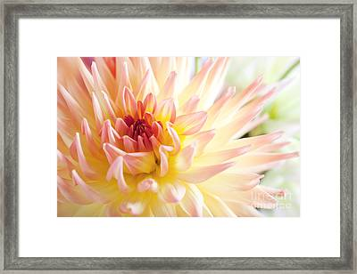 Dahlia Flower 01 Framed Print by Nailia Schwarz
