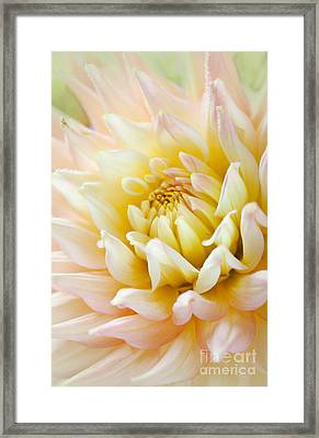 Dahlia Flower 03 Framed Print by Nailia Schwarz