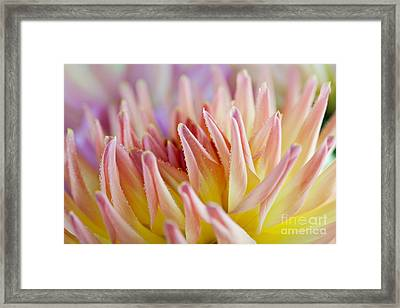 Dahlia Flower 05 Framed Print by Nailia Schwarz