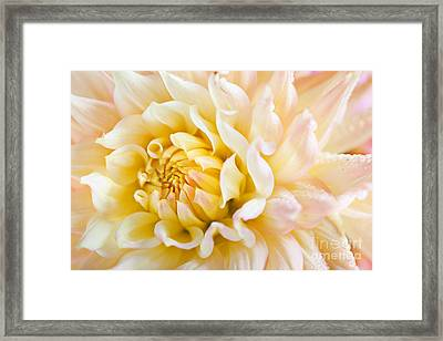 Dahlia Flower 08 Framed Print by Nailia Schwarz