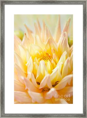 Dahlia Flower 10 Framed Print by Nailia Schwarz