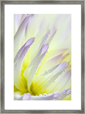 Dahlia Flower 11 Framed Print by Nailia Schwarz