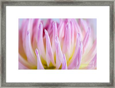 Dahlia Flower 12 Framed Print by Nailia Schwarz