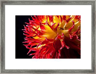Dahlia In Flames Framed Print
