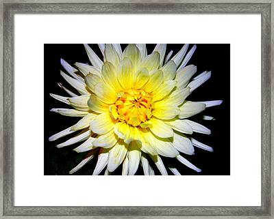 Framed Print featuring the photograph Dahlia In White And Yellow by Laurel Talabere