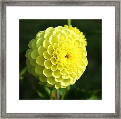 Dahlia In Yellow Framed Print by Cathie Tyler