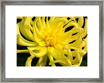 Framed Print featuring the photograph Dahlia In Yellow by Laurel Talabere