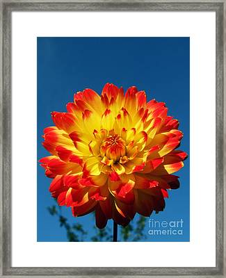 Dahlia 'procyon' Framed Print by Ian Gowland and Photo Researchers