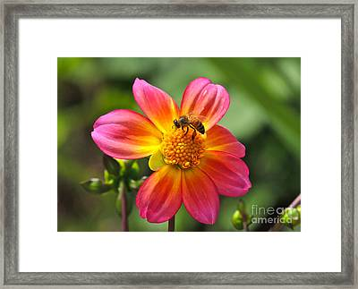 Framed Print featuring the photograph Dahlia Sun by Eve Spring