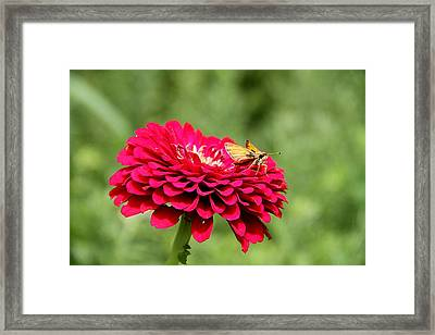 Framed Print featuring the photograph Dahlia's Moth by Elizabeth Winter