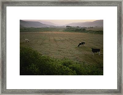 Dairy Cattle Graze In An Irrigated Framed Print by Joel Sartore