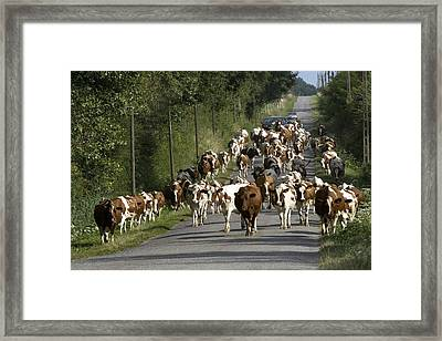 Dairy Herd In Rural France Framed Print by Bob Gibbons
