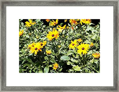 Daises In The Sunlight - 1 Framed Print by Alan Hausenflock
