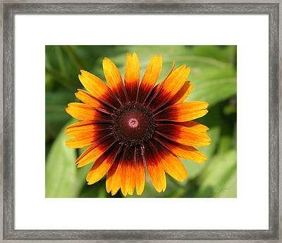 Daisey In Full Bloom Framed Print