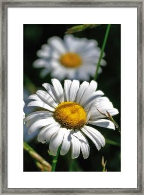 Daisies Aglow Framed Print