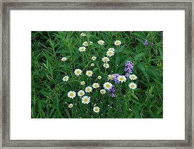 Daisies Framed Print by Aimee L Maher Photography and Art Visit ALMGallerydotcom
