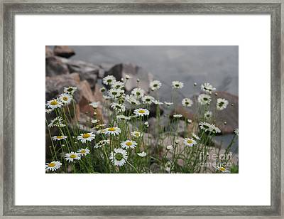Framed Print featuring the photograph Daisies And How They Grow by Joan McArthur