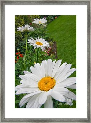 Daisies Daisies Framed Print by Jo
