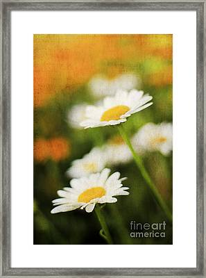 Daisies Framed Print by Darren Fisher