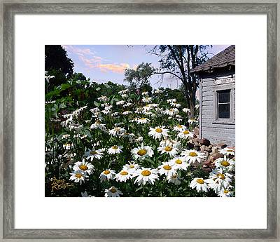 Daisies Delight Framed Print by Doug Kreuger