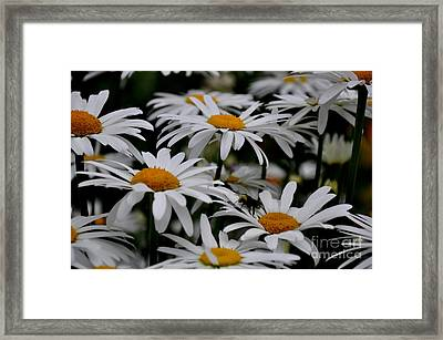 Daisies Framed Print by Tanya  Searcy