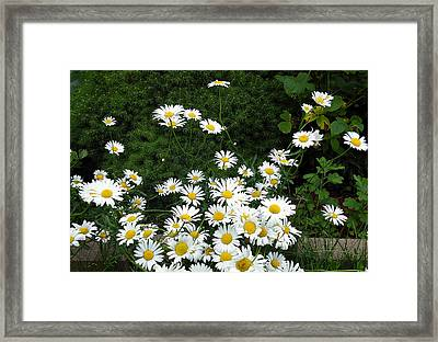 Framed Print featuring the photograph Daisies by Vicky Tarcau