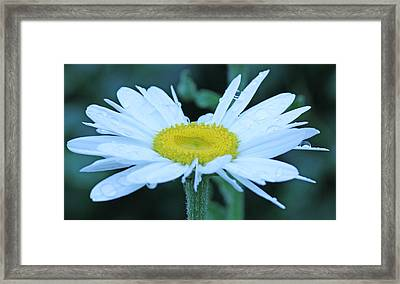 Daisy After The Rain Framed Print by Becky Lodes