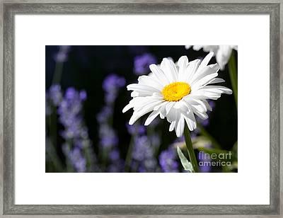 Daisy And Lavender Framed Print by Cindy Singleton