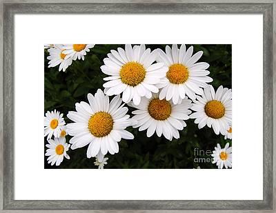Daisy Blossoms Framed Print
