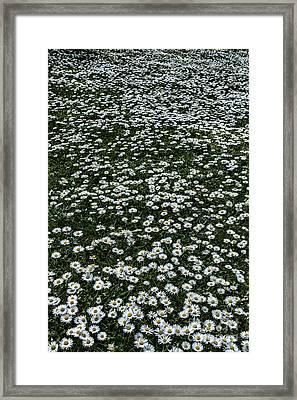 Daisy Daisy Give Me.... Framed Print by John Farnan