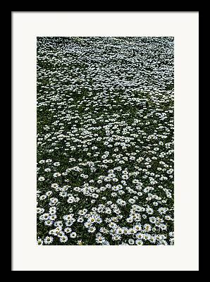 Lots Of Daisies Framed Prints