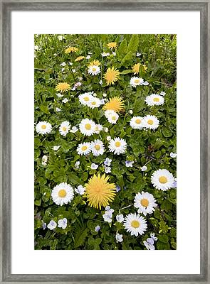 Daisy, Dandelions And Slender Speedwell Framed Print by Bob Gibbons