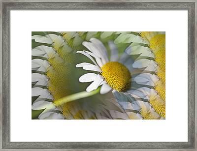 Daisy Delight Framed Print by Cheryl Cencich