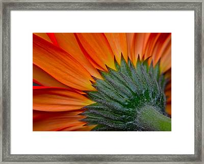 Daisy Delight Framed Print by Frozen in Time Fine Art Photography
